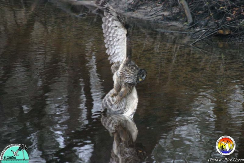 Barred Owl on Fishing line.jpg