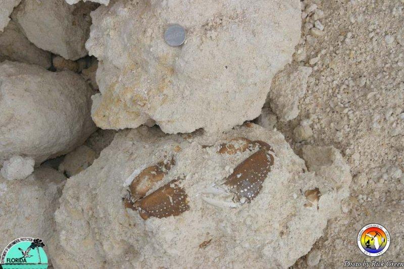 Crab- Haille Quarry, Alachua County.jpg