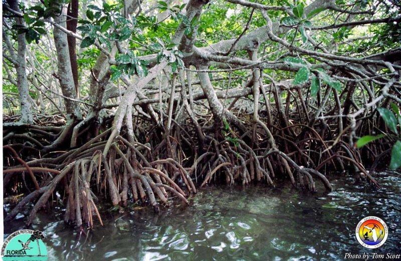 Mangroves in Florida Bay.jpg
