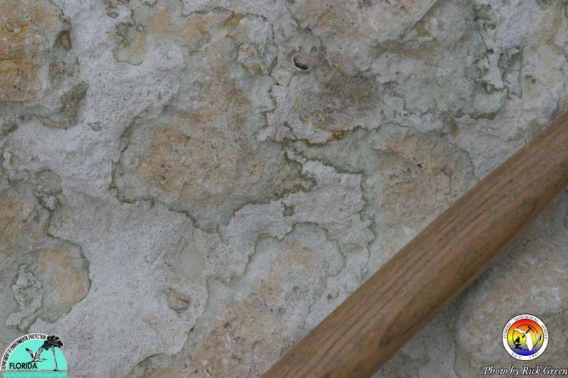 Bumpnose Limestone.jpg