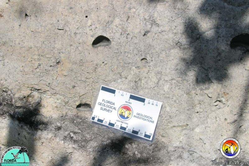 Suwannee Limestone.jpg