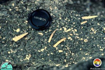 Alum Bluff  mollusk shells in Jackson Bluff Fm 2.jpg