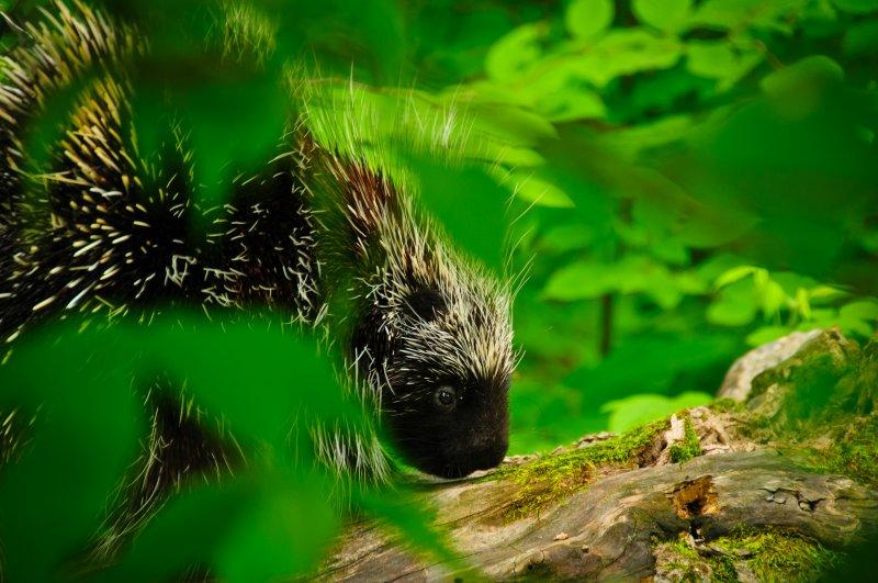 Porcupine visit