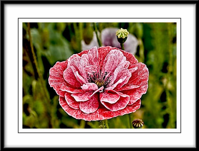 red and white Angels choir poppy....
