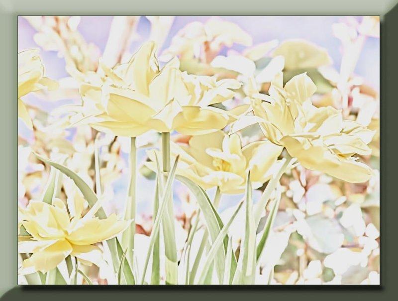 double yellow tulips in my garden...