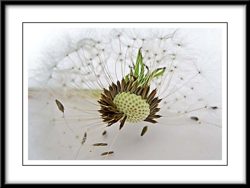 dandelion seedhead...