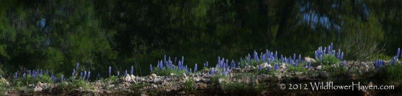 Bluebonnet Reflections