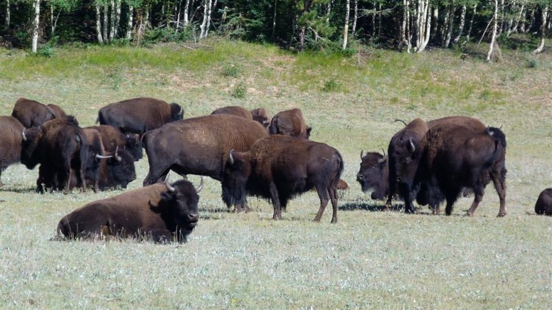 602 GCNR Rt 67 Buffalo 3.jpg