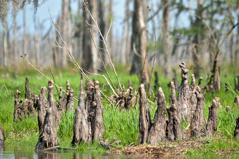 Swamp Cypress Knees
