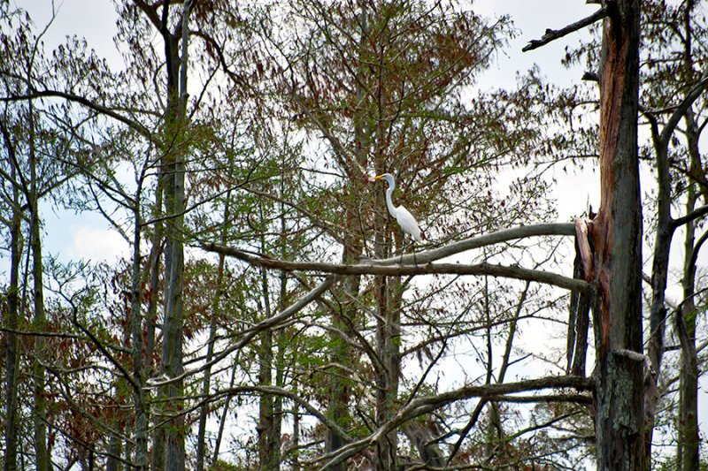 White Egret On A Branch
