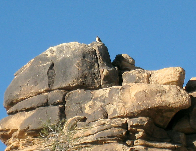 Hawk_on_Perch_at_Joshua_Tree.jpg