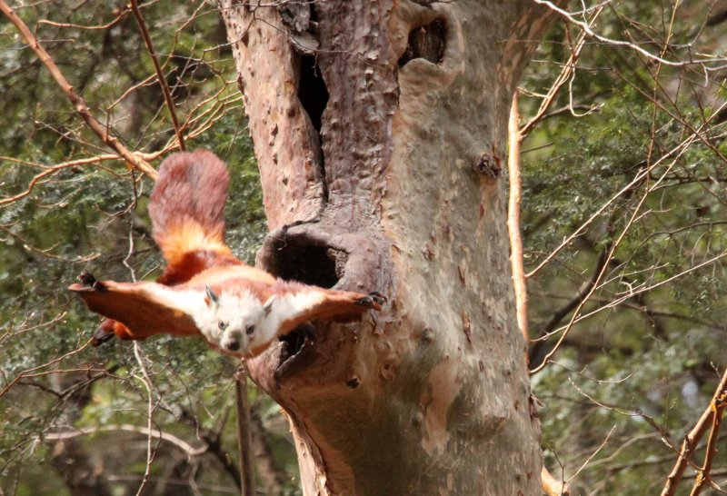 RODENTIA - FLYING SQUIRREL - RED & WHITE GIANT FLYING SQUIRREL - FOPING NATURE RESERVE - SHAANXI PROVINCE CHINA (7).JPG