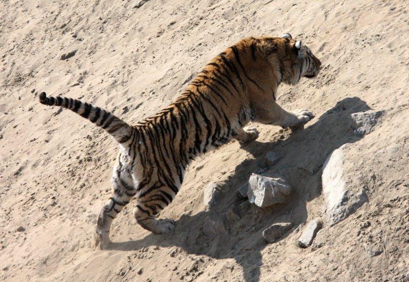 FELID - TIGER - SIBERIAN TIGER - HARBIN SIBERIAN TIGER PARK - CHINA (187).JPG