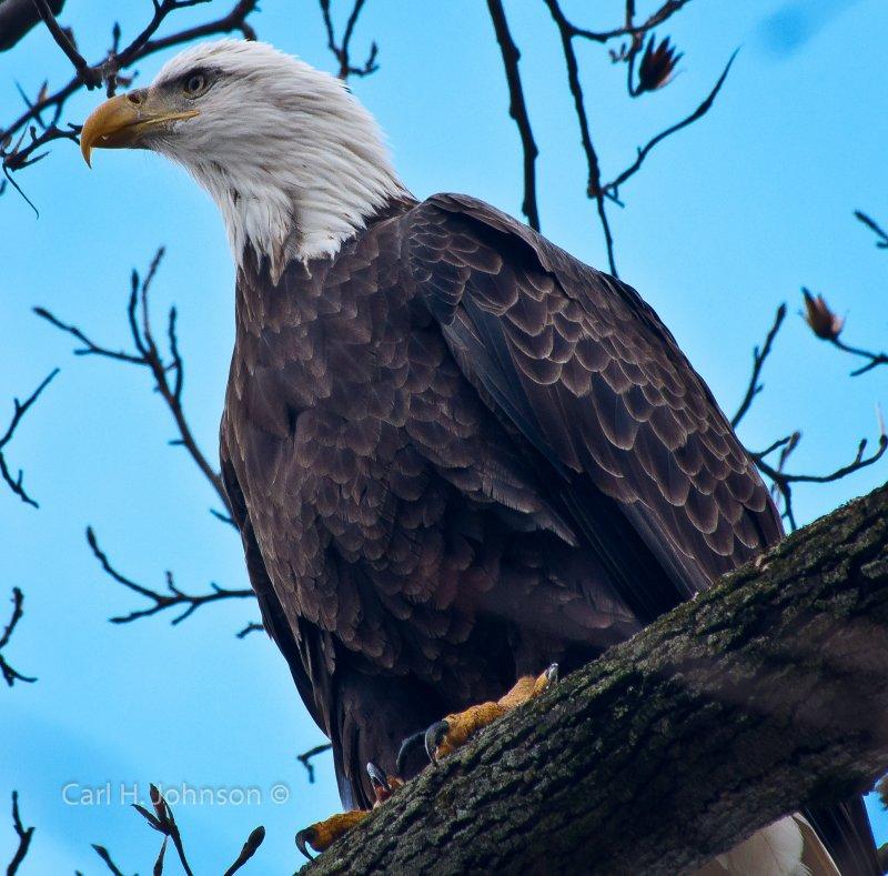 Americian Bald Eagle (Haliaeetus leucocephalus)