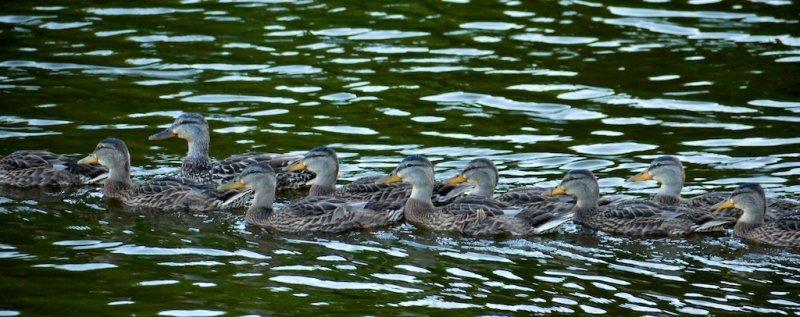Duck Armada
