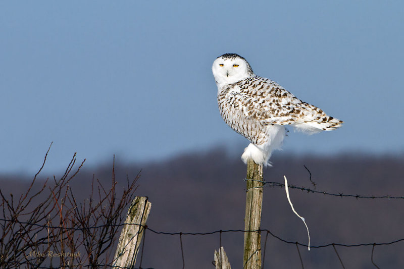 A Parting Gift - Snowy Owl