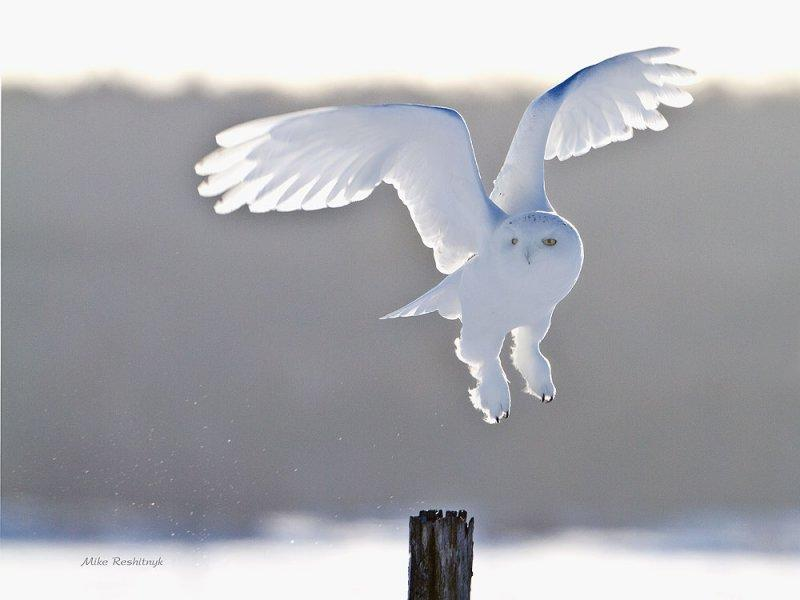 Snowy Owl - A Backlit Male On The Go