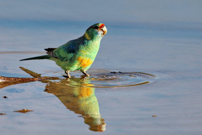 Mallee Ringnecked  Parrot