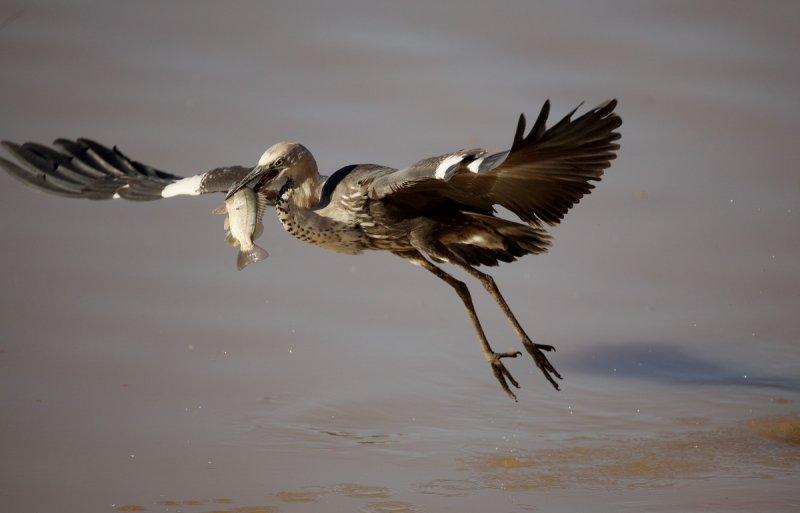 White Necked Heron Fishing
