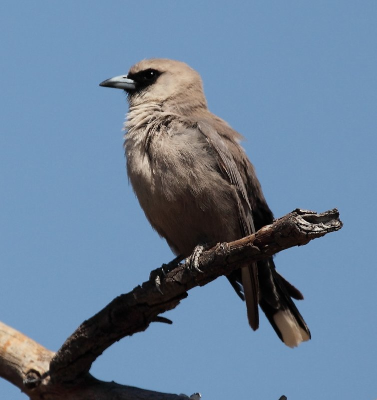 Black Faced Wood Swallow