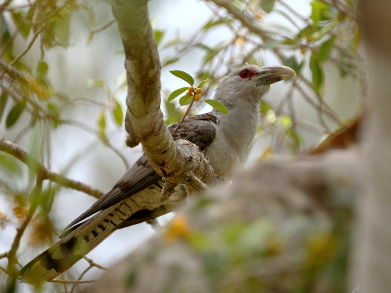 Channel Bill Cuckoo