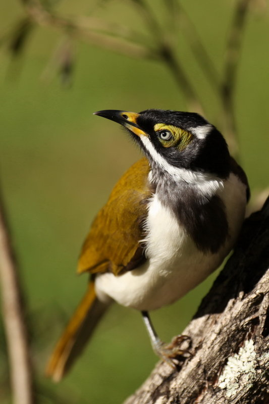 Blue Faced Honeyeater - Immature