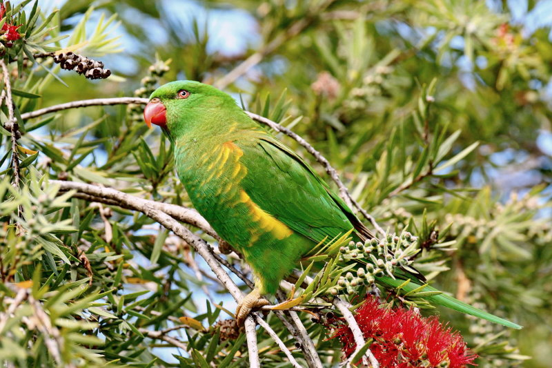 Scaly - Breasted Lorikeet