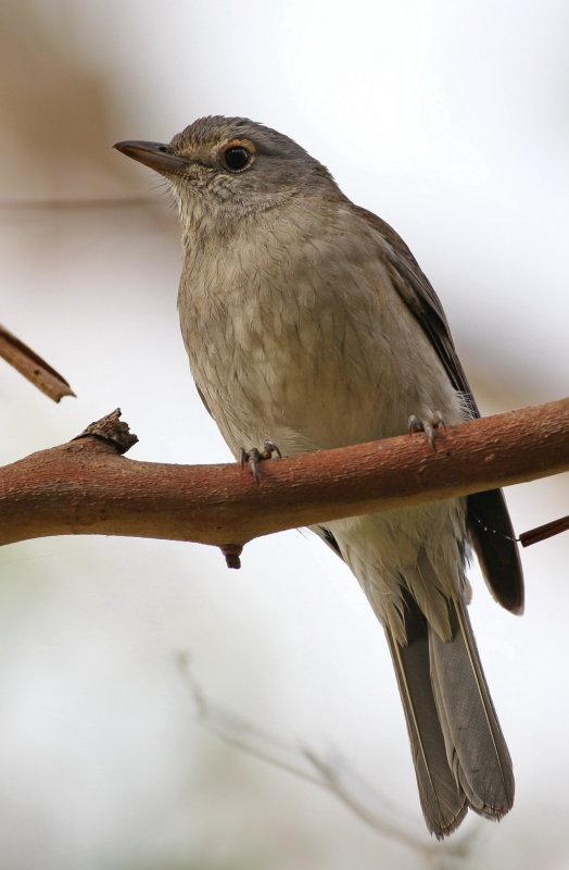 Grey Shrike Thrush - Immature
