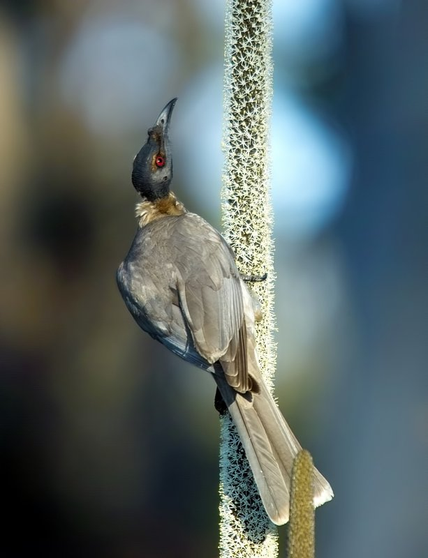 Friar Bird on Grass Tree Flower