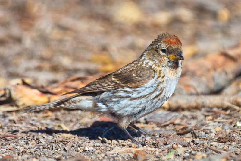 Female Redpoll