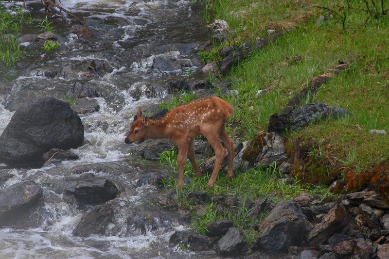 Elk Fawn