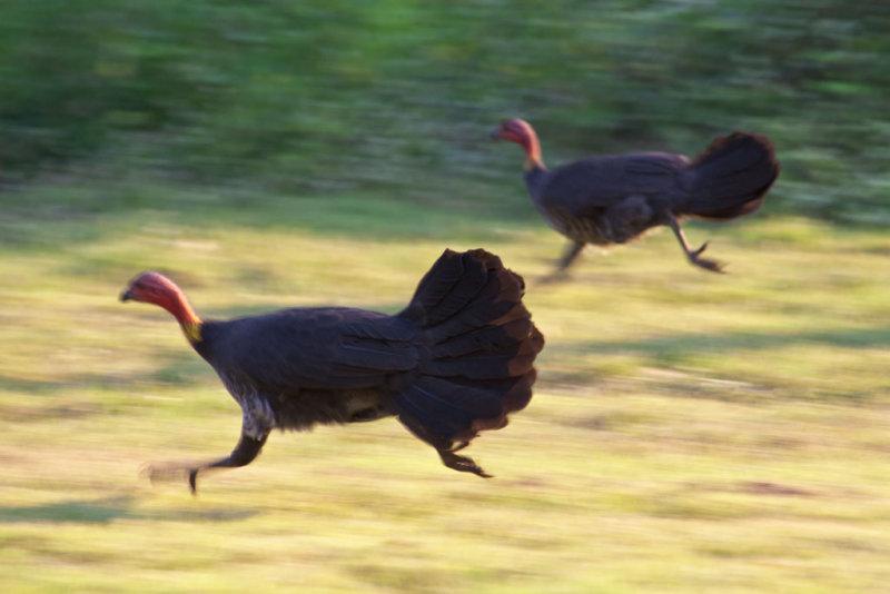Brush turkeys running<p>IMG_2537