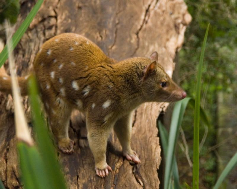 Spot-tailed quoll DSC_3691