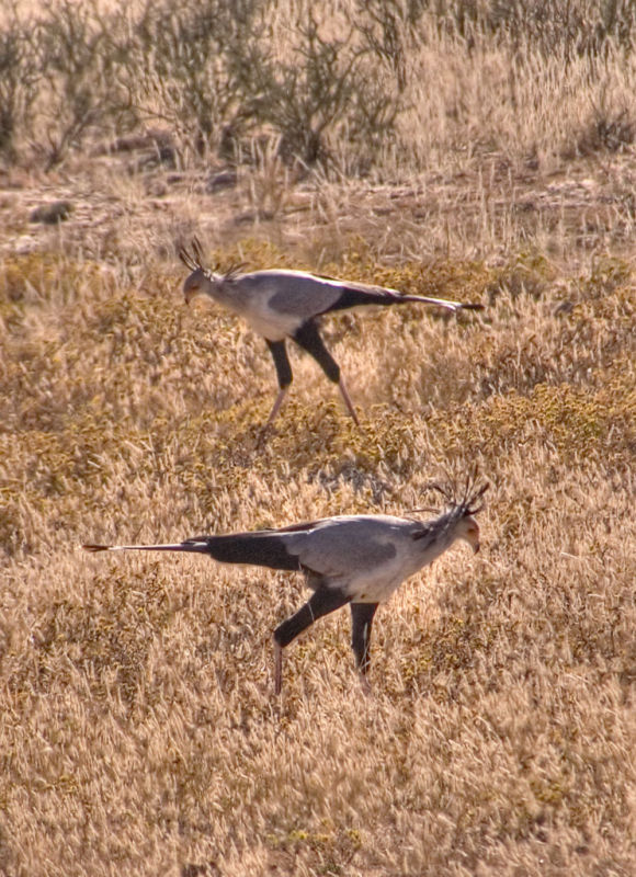 Two secretary birds _DSC1712
