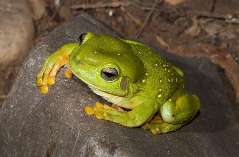 Magnificent treefrog, <i>Litoria splendida</i> _DSC7716