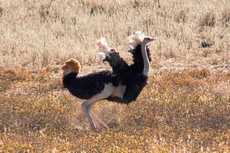 Ostrich dust bathing _DSC1679
