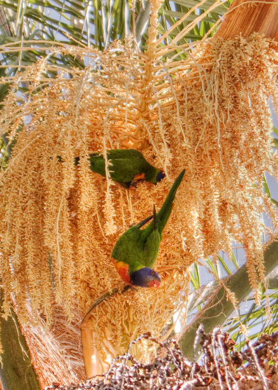 Rainbow lorikeets in flowering palm CRW_2065