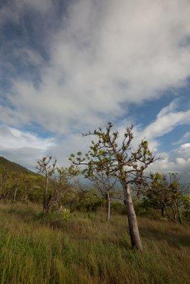 Kapok trees against sky IMG_1422