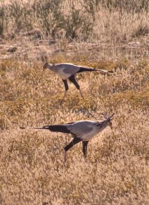Two secretary birds _DSC1712