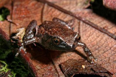 Juvenile ornate nurseryfrog, Cophixalus ornatus IMGP3314