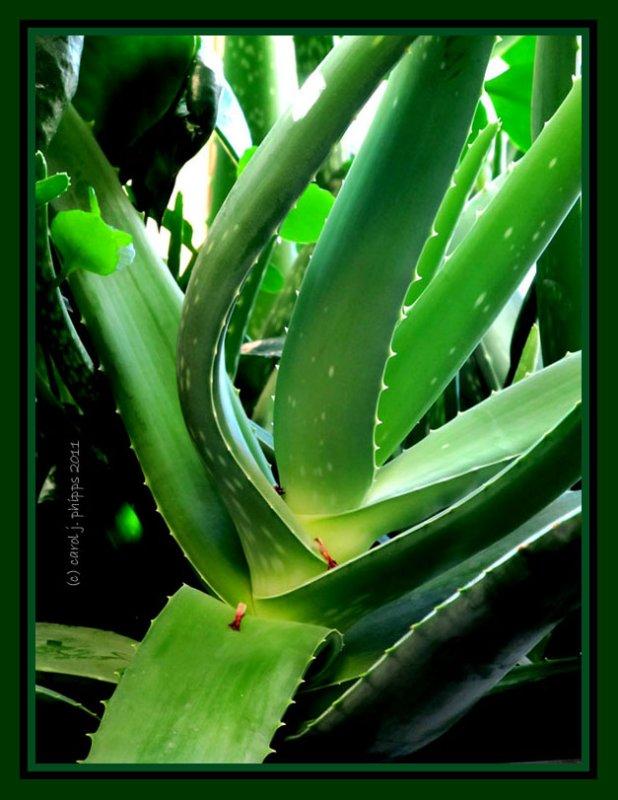 Burn plant ~ Aloe