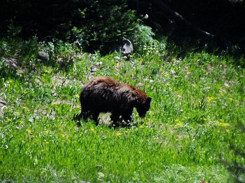 DSC01849   Bear Yellowstone Wy HX100.jpg