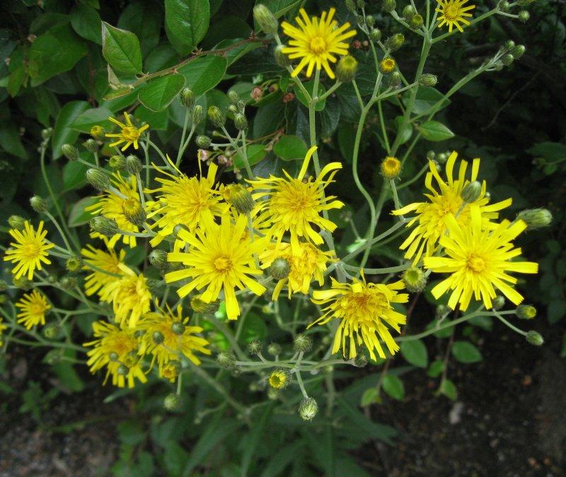 Hieracum Umbellatum - Hawksweed Daisy