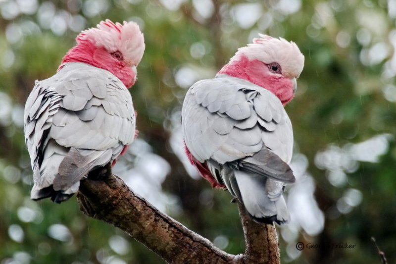 Pink and Grey Galah - look to the right