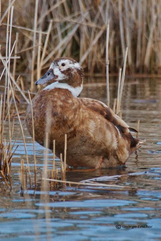 Unidentified Duck, Agelsea, Victoria, Australia