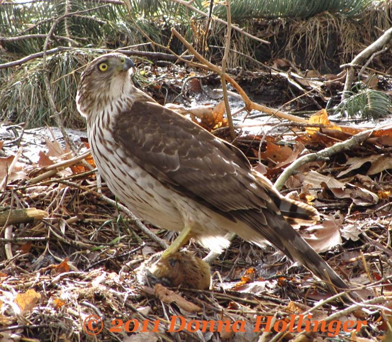 Coopers Hawk Turning
