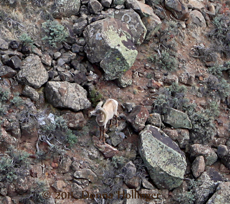 BigHorn Sheep Feeding