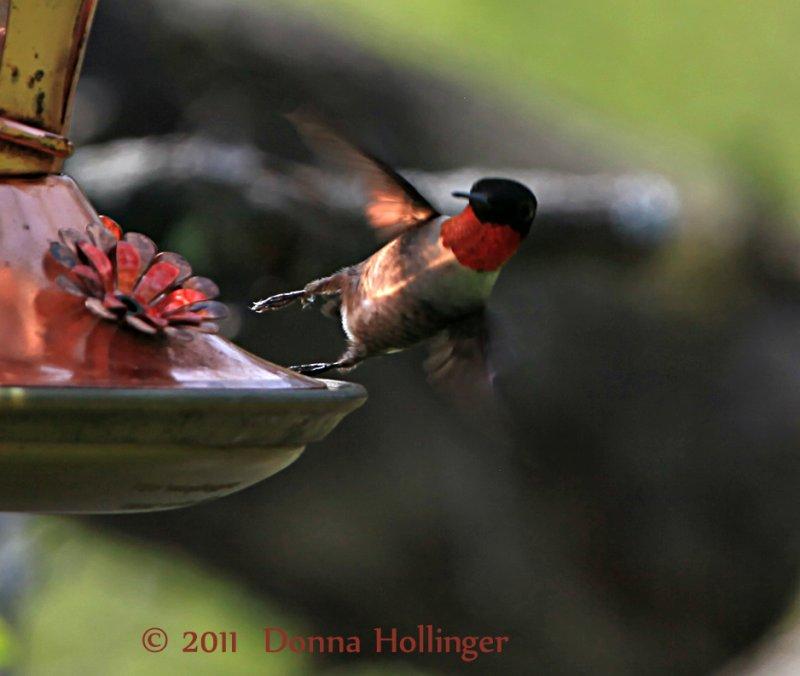 HummingbirdTaking off