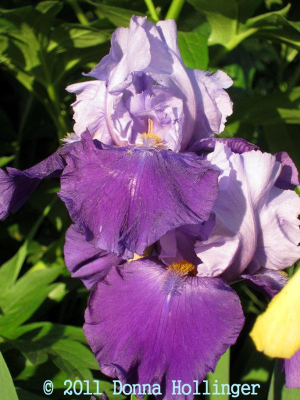 Lavender Bearded Iris
