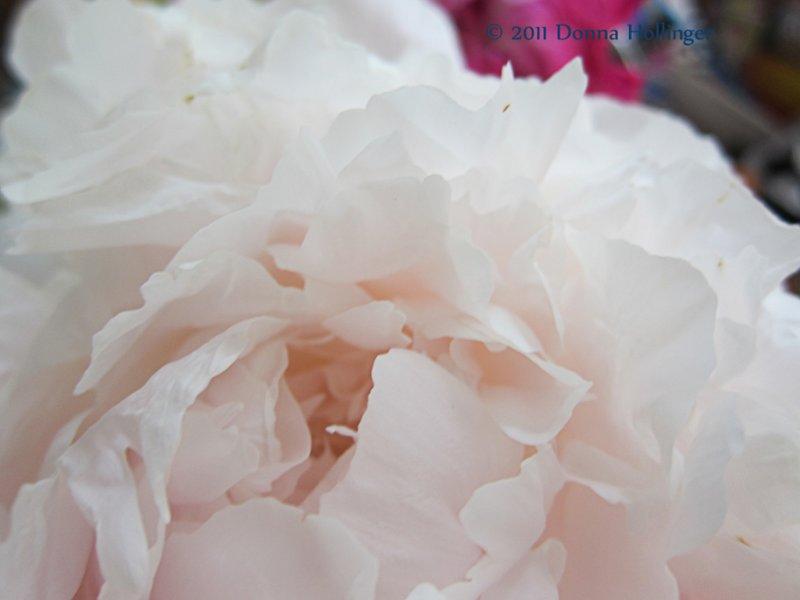 Soft Peony Blossum